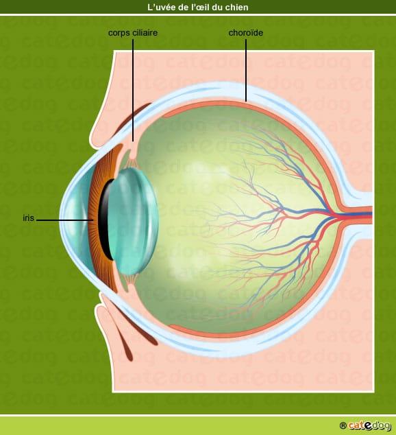 Iris, corps ciliaire, choroïde et uvée de l'œil du chien