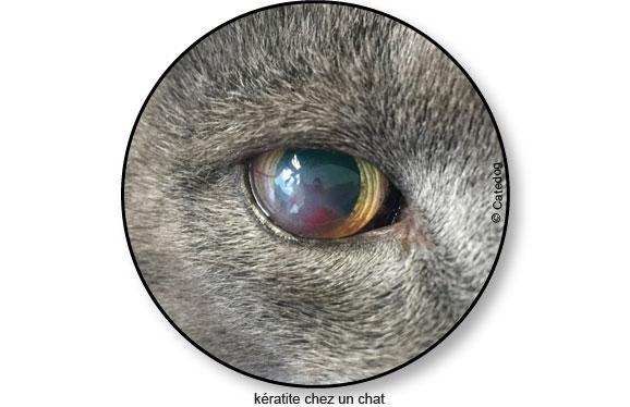 keratite-oeil-blanc-chat