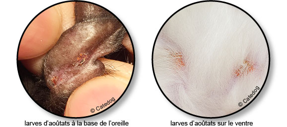 larves-aoutat-oreille-ventre-chat