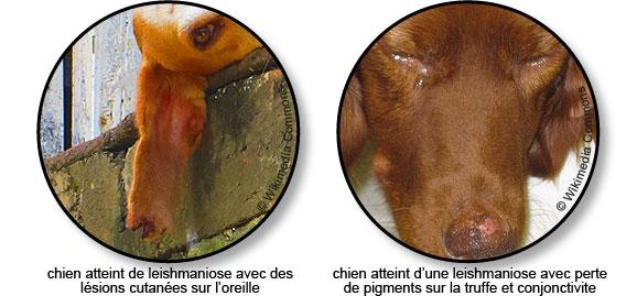 leishmaniose-chien-lesion-cutanee