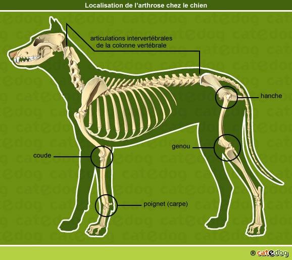 localisation-arthrose-chien-os-articulation