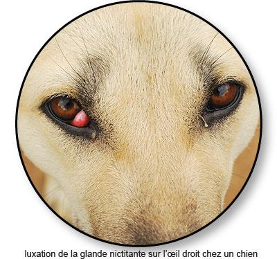 Luxation de la glande nictitante sur l'œil droit d'un chien