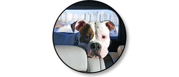 mal_des_transports_chien