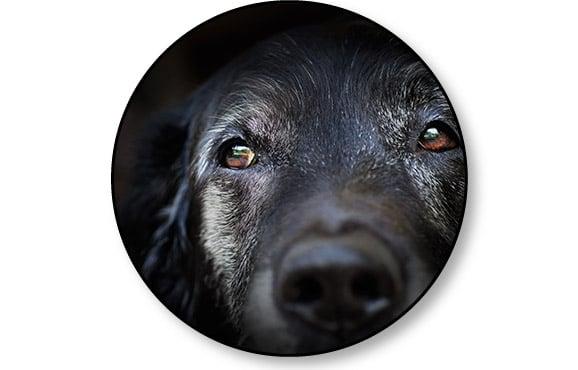 Maladie de Cushing et syndrome de Cushing chez le chien