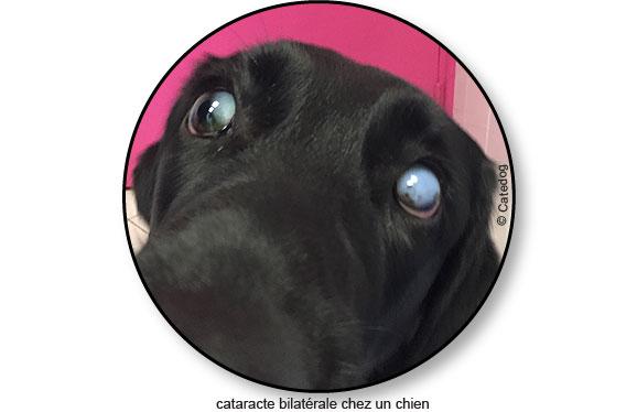 maladie-traitement-cataracte-oeil-yeux-chien