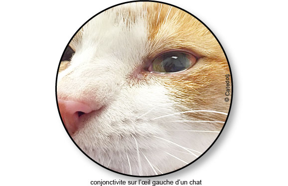 maladie-traitement-conjonctivite-oeil-yeux-chat