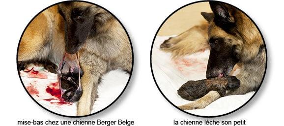 Mise-bas ou accouchement d'une chienne
