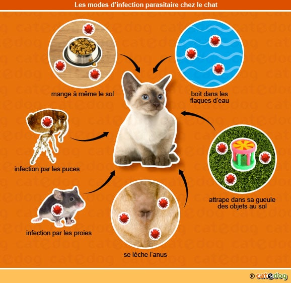 modes_infection_parasitaire_chat