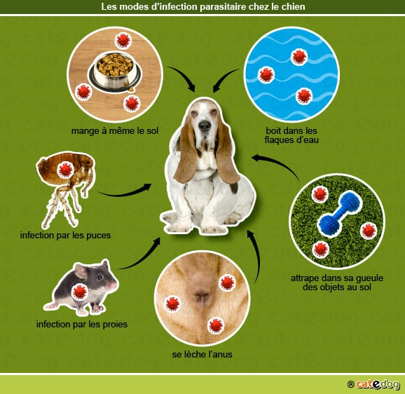 modes_infection_parasitaire_chien
