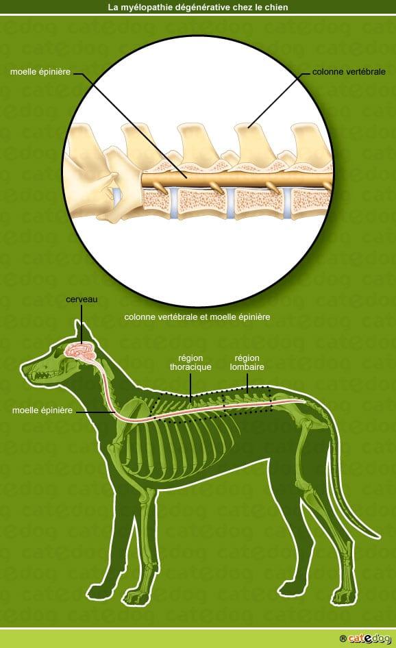 myelopathie-degenerative_chien