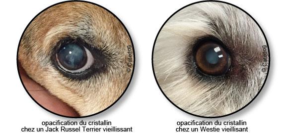 opacification-cristallin-oeil-chien-aveugle