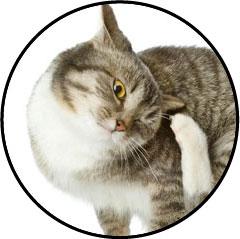 Othématome de l'oreille du chat qui se gratte