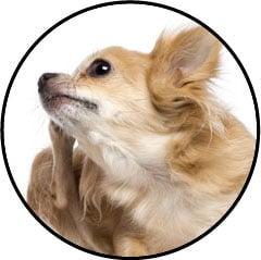 Othématome de l'oreille chez le chien gonflée