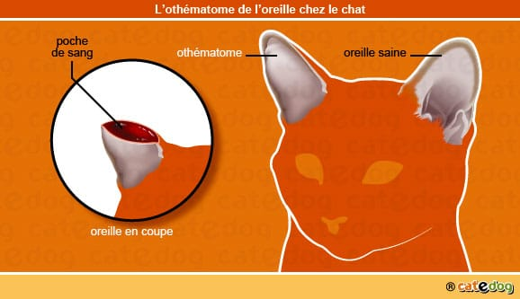 othematome_oreille_chat