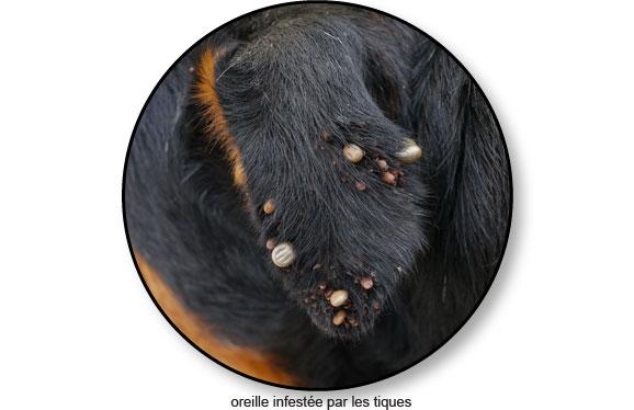 parasite-tiques-tique-chien-catedog
