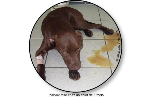 parvovirose-chien-vomit