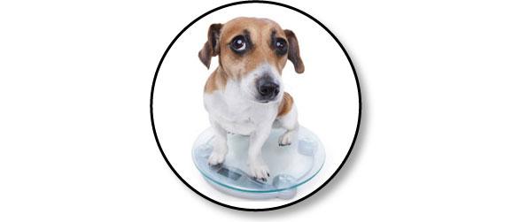 Poids et arthrose chez le chien