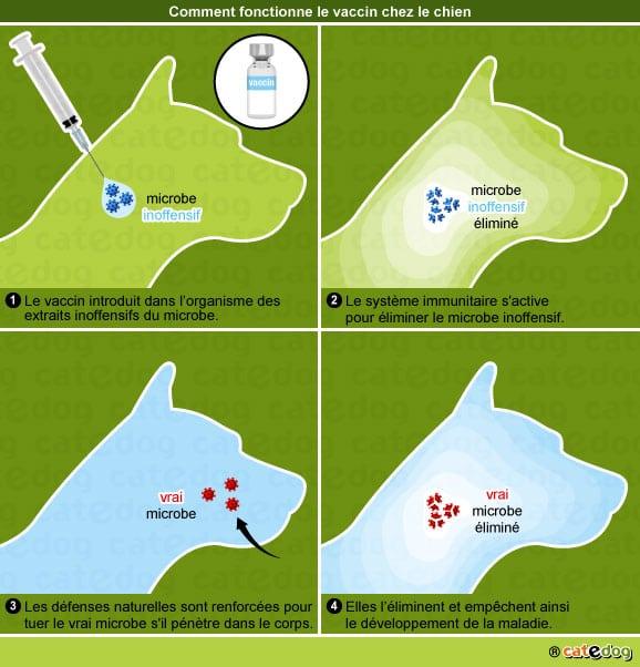 principe-fonctionnement-mecanisme-vaccin-vaccination-chien-2