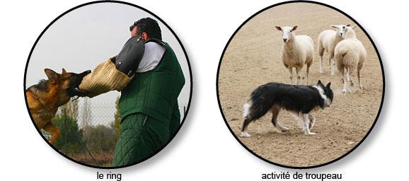 ring_activite_de_troupeau_chien