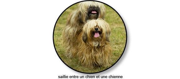 saillie_chien