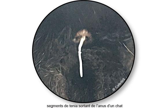 segment-tenia-taenia-dipylidium-anus-chat