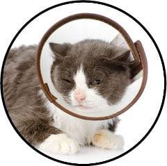 Collerette ou carcan après la stérilisation d'une chatte