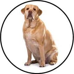 Surpoids chez la chienne et le chien stérilisés