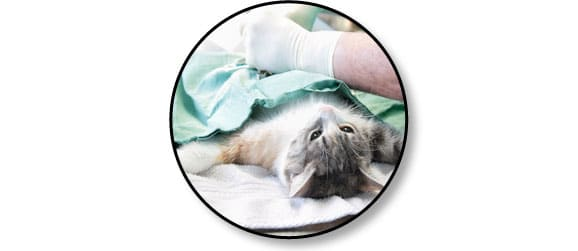 sterilsation-castration-chirurgie-veterinaire-chat
