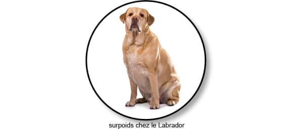 strerilisation-castration--poids-surpoids-labrador