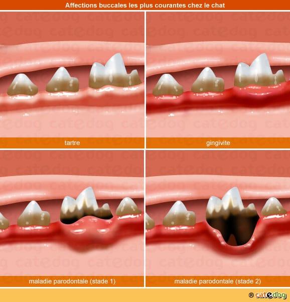 tartre-gingivite-maladie-parodontale-dent-chat