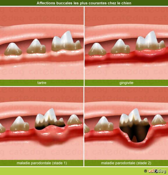 tartre-gingivite-maladie-parodontale-dent-chien