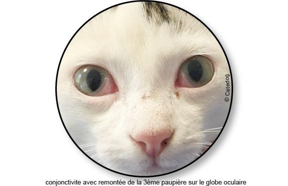 traitement-traiter-conjonctivite-oeil-yeux-chat