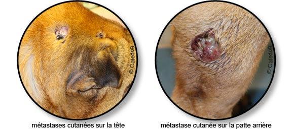 tumeur_metastases-cutanees_chien