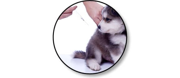 vaccination-vaccin-vacciner-chien-chiot