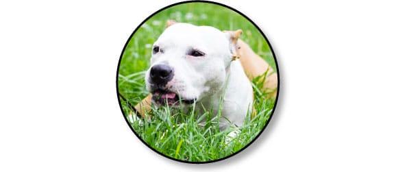 vermifuger-vermifuge-manger-mange-herbe-chien