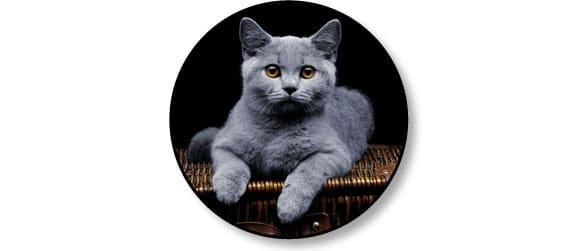 chat-ronronne