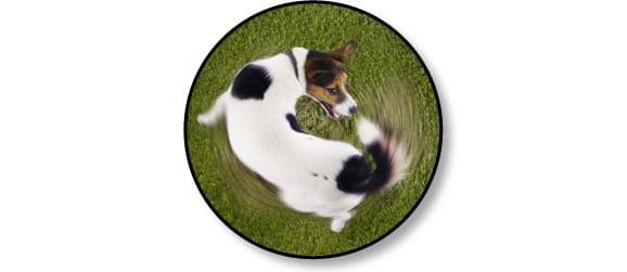 chien-attrape-queue