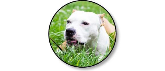 chien-mange-manger-herbe