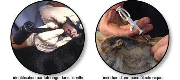 identification_chien