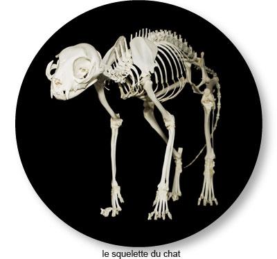 Le crâne et le squelette du chat
