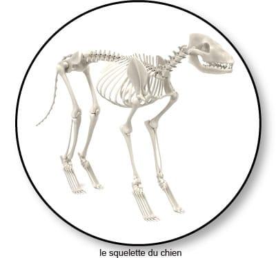 Le crâne et le squelette du chien