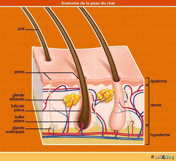 anatomie-chat-peau-epiderme-derme-hypoderme