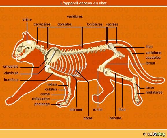 anatomie-chat-squelette-appareil-osseux-os