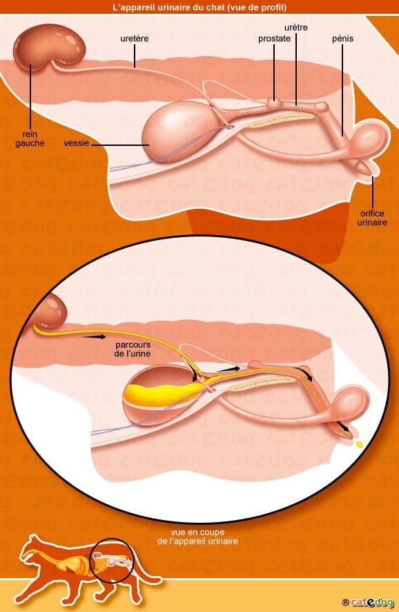 anatomie-chat-appareil-urinaire-urine-rein