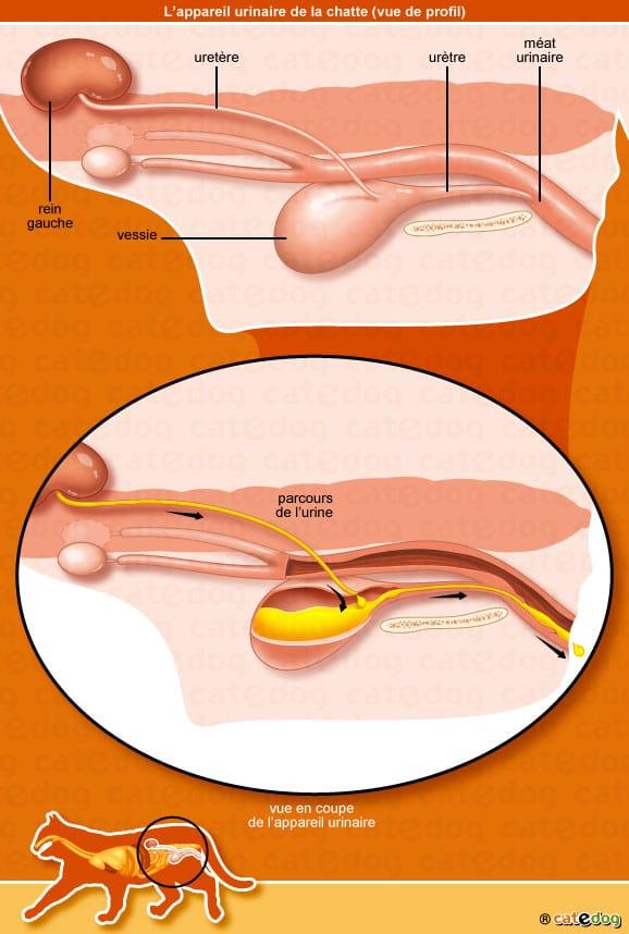 anatomie-chatte-appareil-urinaire-urine-catedog