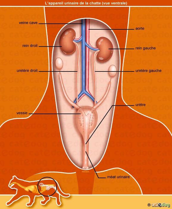 anatomie-chatte-appareil-urinaire-rein-vessie