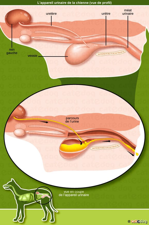 anatomie-chien-appareil-urinaire-urine-rein