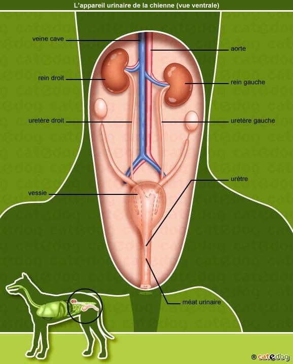 anatomie-chienne-appareil-urinaire-rein-vessie