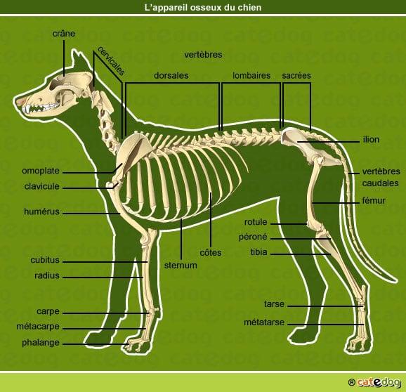 anatomie-chien-squelette-appareil-osseux-os