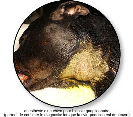 biopsie d'un lymphome chez le chien